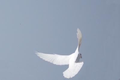 friedenstaube flieg