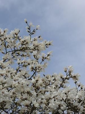 Weiße Magnolienblüten gegen den blassblauen Himmel