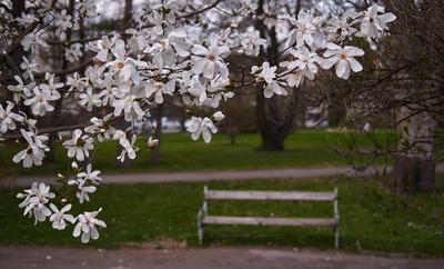 weißer Magnolienstrauch im Park