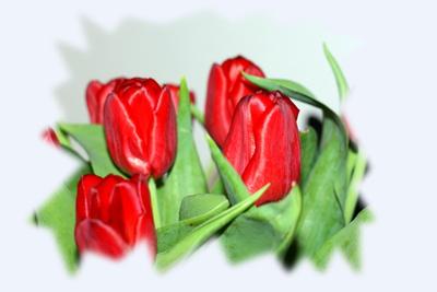 Rote Tulipa