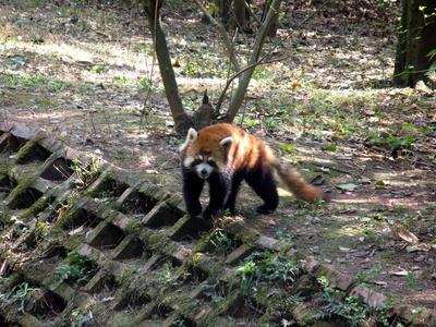 Der kleine rote Panda