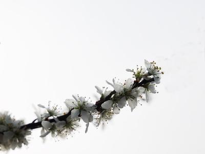 schlehenblüte im morgentau