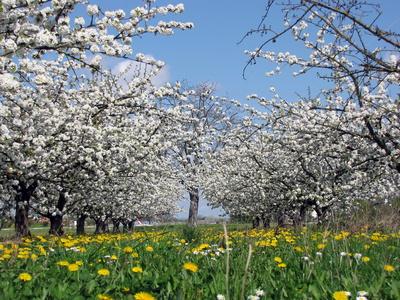 Kirschbäume - ein Traum in weiß