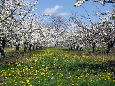 Einfach nur schön - Kirschblüte bei Meckenheim in der Pfalz