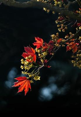 junge Ahornblätter mit Blüten im Wind