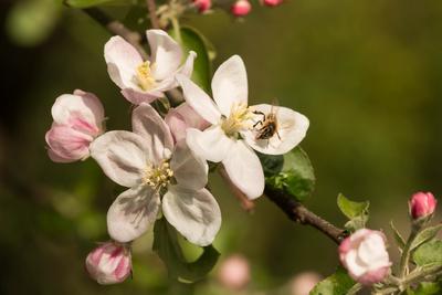 apfelblüten...2...