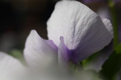 Zartes Blütenblatt