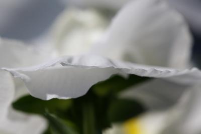 Zartes Blütenblatt II