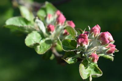 Knospen (Apfelbaum)