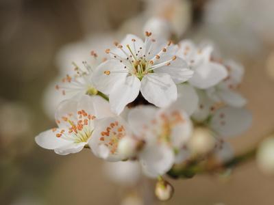 zwetschgenblüte 1