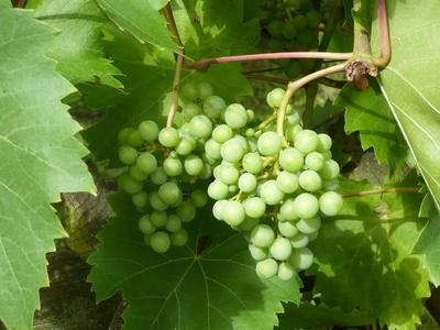 Schöne Weintrauben