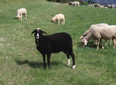 Ein wirklich schwarzes Schaf