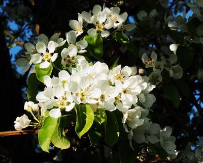 birnenblüte im sonnenlicht