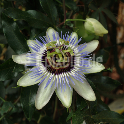 Blaue Passiflora