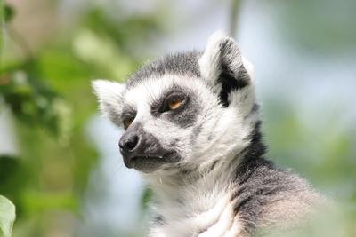 Katta / Lemur