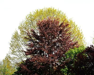 rotbuche mit grünem kranz