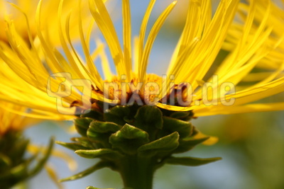 Alant-Blüte