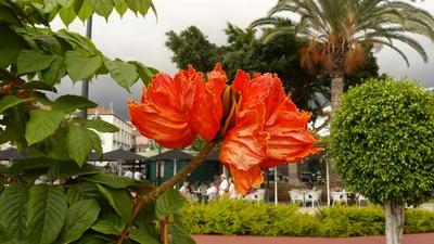 afrikanischer Tulpenbaum