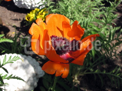 Mohnblume im Garten