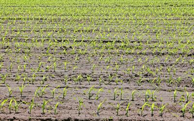 Maisfeld im Werden