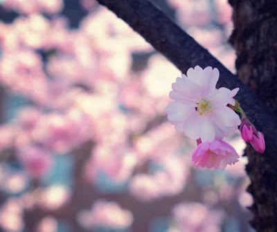 Zierkirschenblüte am Baum