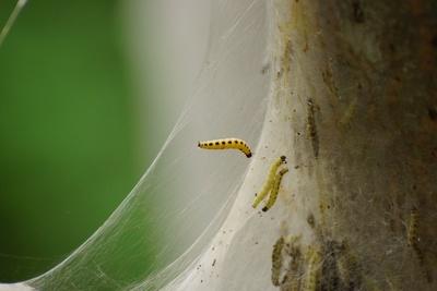 Gespinst-Motte