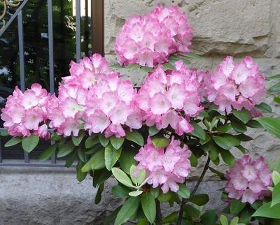 Rhododendron vor der Mauer