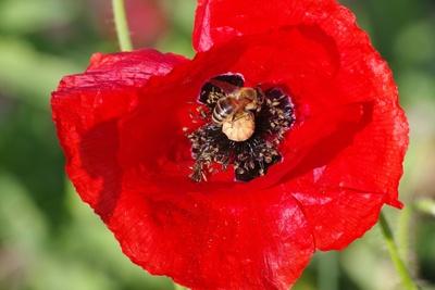 Mohnblume mit Biene 2