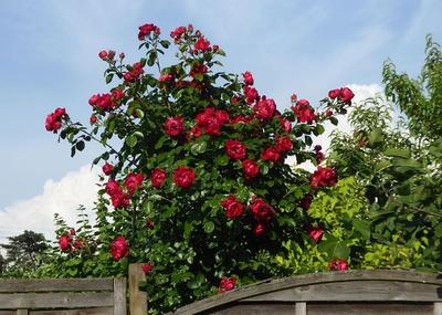Rote Rosen über dem Gartenzaun
