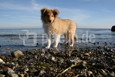 American Collie 0004