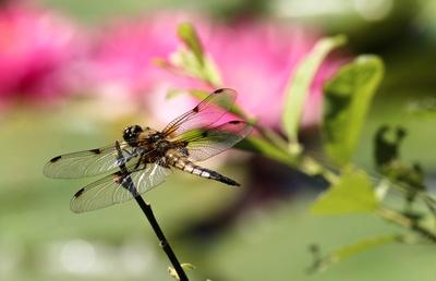 Libelle am Seerosenteich