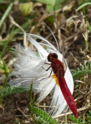 Libelle auf der weißen Feder
