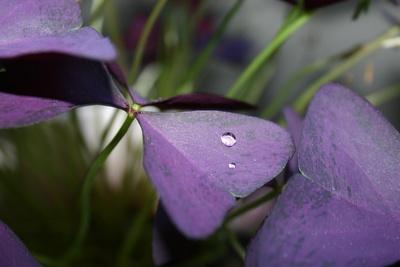Tropfen auf Blüte