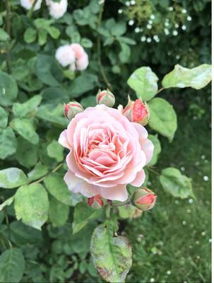 Berliner Rose