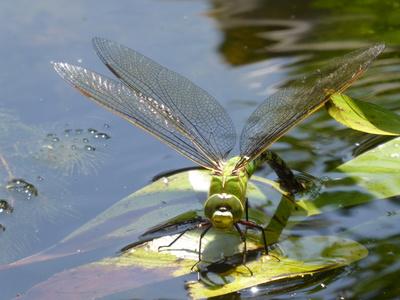 Libelle bei Eiablage
