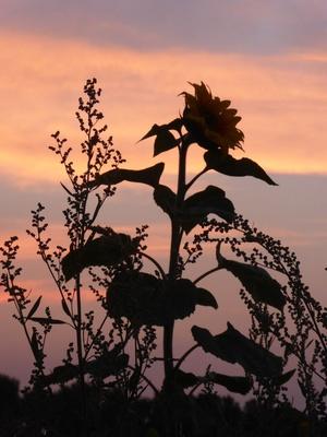 Abendrot hinter der Sonnenblume