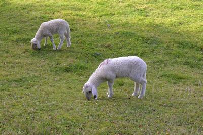 Lämmer, Schafe, Hausschaf