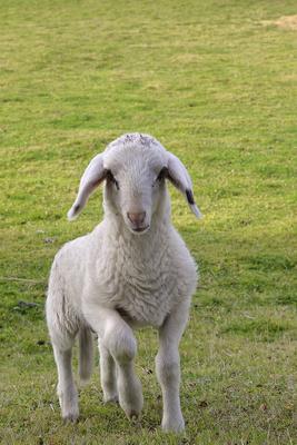 Lamm, Schaf, Hausschaf