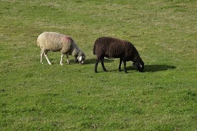 Schafe - Schwarz-Weiss