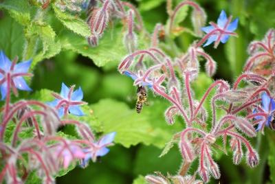 Im Anflug - Wildbiene am Boretsch