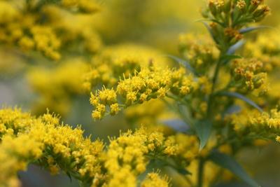 Goldruten in Blüte