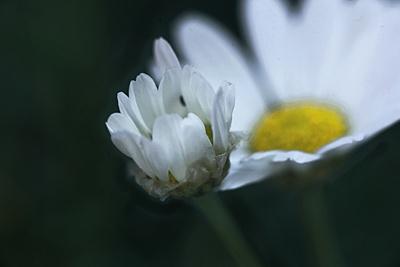 junge Blüte