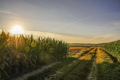 Mangelnder Niederschlag hemmt Maiswuchstum