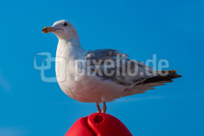 Einer der frechen Möwen von Brighton, UK