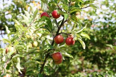 Die Äpfel reifen