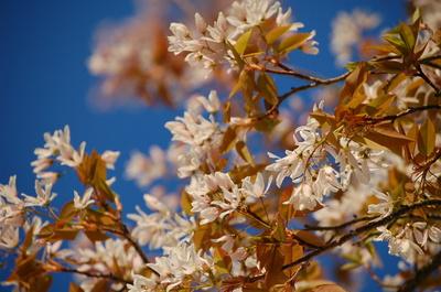 Felsenbirne, Blüten