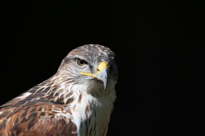Steinadler- Portrait