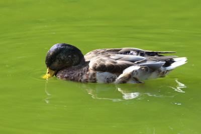 Ente Köpfchen unter Wasser