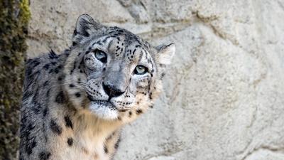 Neugieriger Schneeleopard