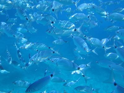 Fischschwarm in der blauen Lagune